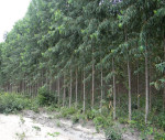 One-of-Suzanos-eucalyptus-plantations-specifically-for-biomass-municipality-of-Urbano-Santos