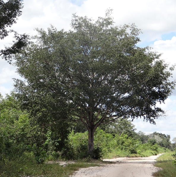 A bacuri tree in the community of Santana.